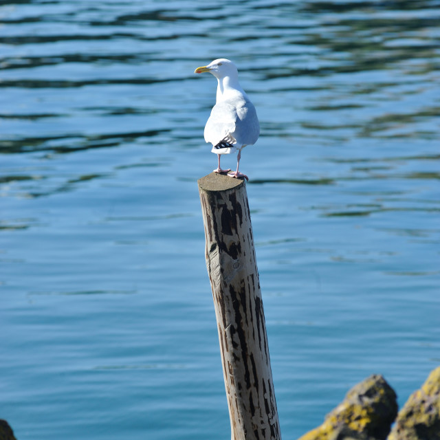 """Seagull resting on a wooden post, St Abbs, Scotland"" stock image"