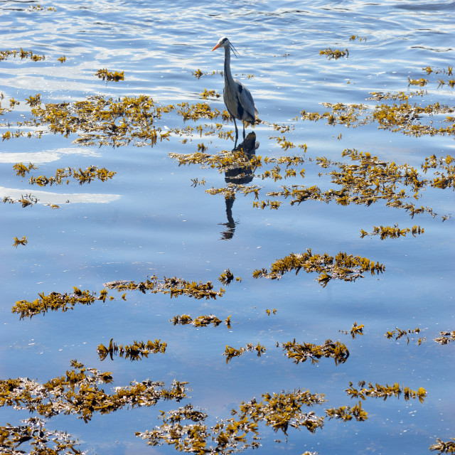 """A grey Heron hunting for fish on the River Tweed"" stock image"