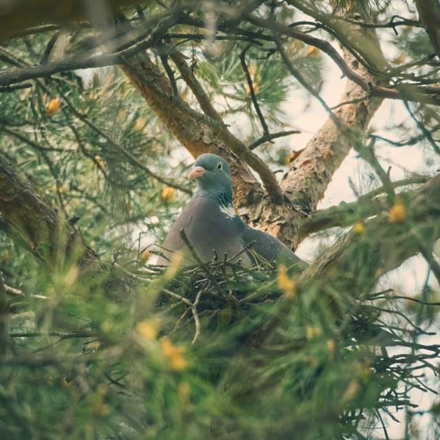 """Pigeon on Nestle"" stock image"