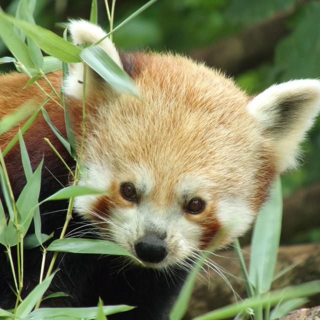 """""""Red Panda"""" stock image"""