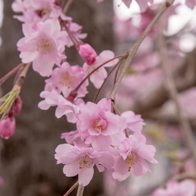 """Deep pink sakura"" stock image"