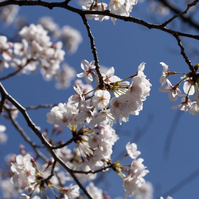 """""""Sakura against the blue sky"""" stock image"""
