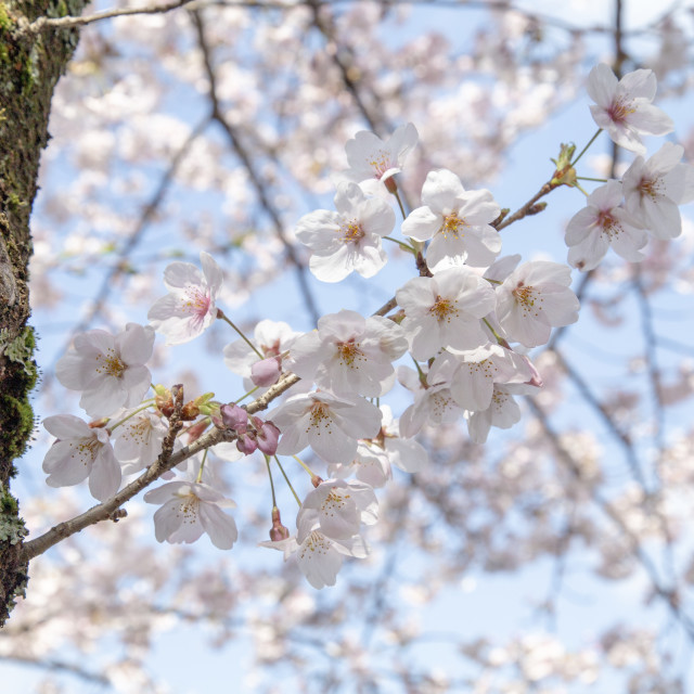 """Sakura branch"" stock image"