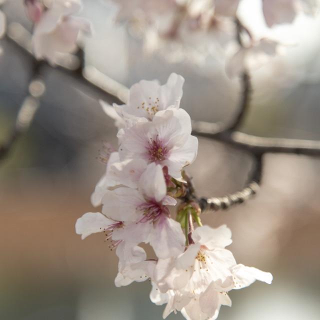 """Isolated sakura"" stock image"