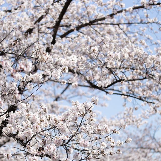 """""""Sakura Sky"""" stock image"""