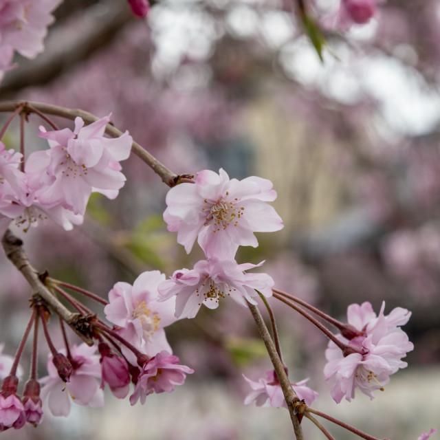 """Sakura focus"" stock image"