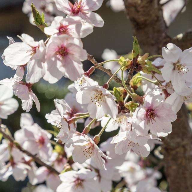 """""""Sakura Tree"""" stock image"""