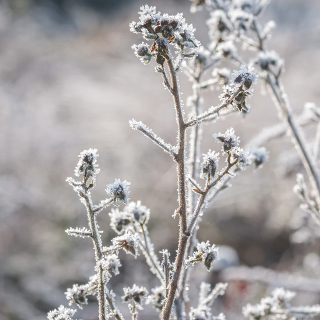 """spring sunshine on frosted vegetation"" stock image"