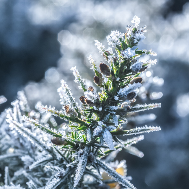 """""""winter toned frosted gorse macro"""" stock image"""