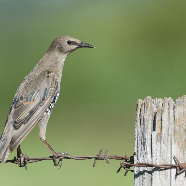 """Common Starling, Spreeuw, Sturnus vulgaris"" stock image"