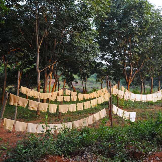 """""""Sheets of freshly made rubber hanging out to dry on the rubber plantation,..."""" stock image"""