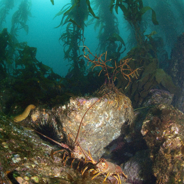 """""""Spiny Lobster (Panulirus Interruptus) on a rock in the kelp forest in California"""" stock image"""