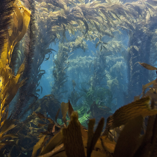 """""""Picture of Kelp forest, Channel Islands national park, California."""" stock image"""