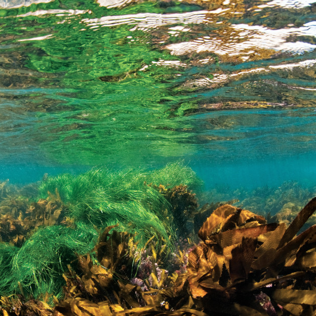 """""""Picture of Kelp forest in shallow water, Anacapa, Channel Islands of California."""" stock image"""