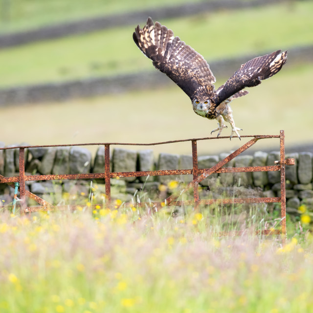 """Eurasian Eagle-owl (Bubo bubo), adult, in flight, United Kingdom"" stock image"