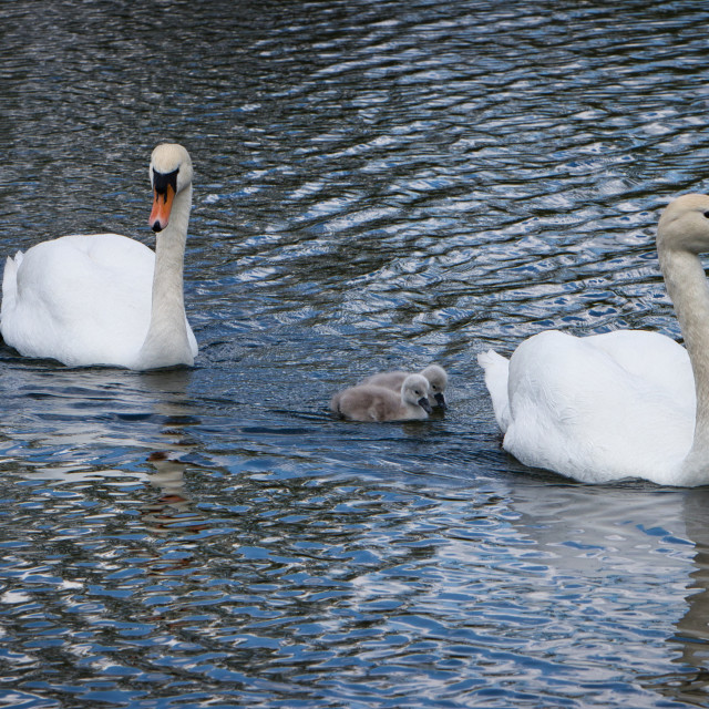 """Swan Family of Four"" stock image"