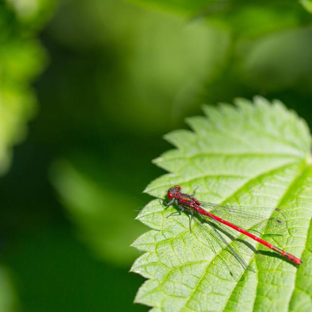 """Large Red Damselfly"" stock image"