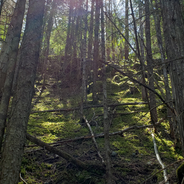 """""""Mossy forest scene with sun, Kaslo, British Columbia, Canada"""" stock image"""