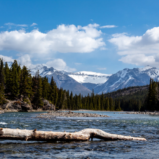 """""""Fallen tree on the Bow River"""" stock image"""
