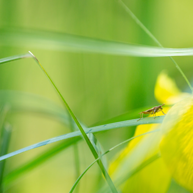 """Fly and Yellow Iris"" stock image"