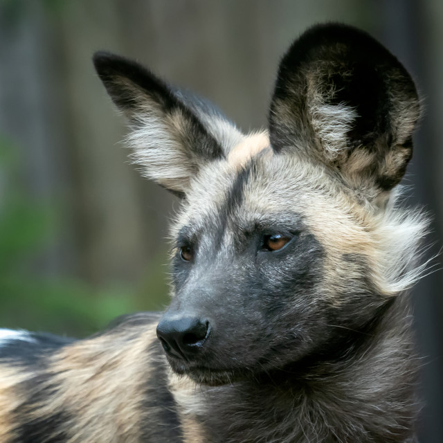 """""""The African wild dog (Lycaon pictus)"""" stock image"""
