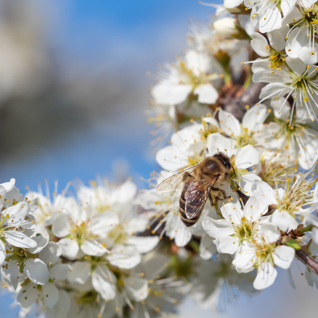 """""""Honey bee collecting pollen from flowers. Spring nature. Bee col"""" stock image"""