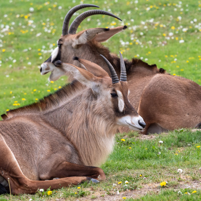 """""""Roan antelope (Hippotragus equinus). Detail portrait of antelope, head with big ears and antlers."""" stock image"""