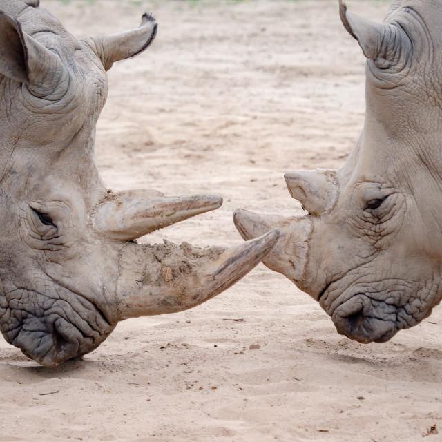 """""""Southern white rhinoceros (Ceratotherium simum simum). Criticall"""" stock image"""