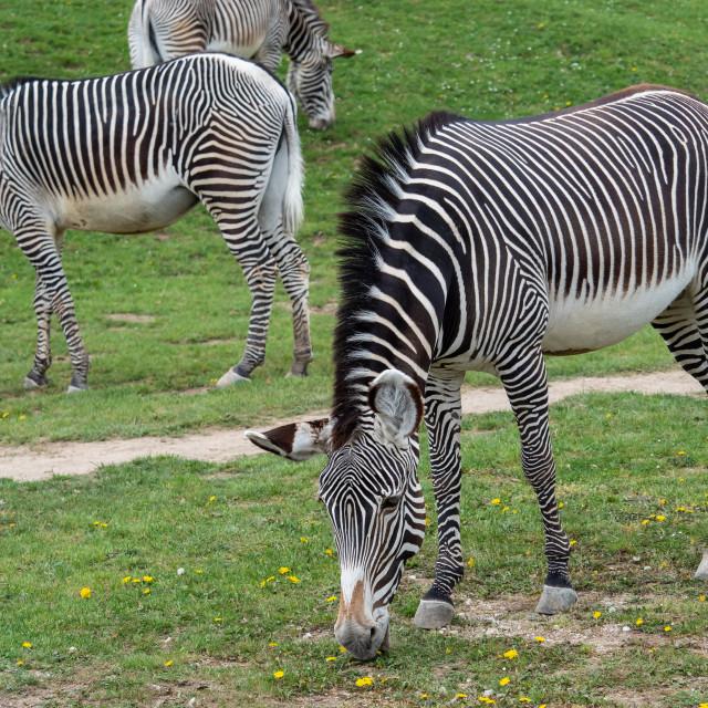 """Herd of The Grevy's zebra (Equus grevyi) grazing on green grass"" stock image"