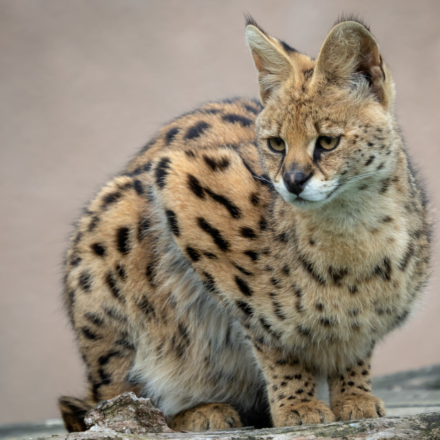"""""""Portrait steppe cats (Leptailurus serval). Wild cats."""" stock image"""