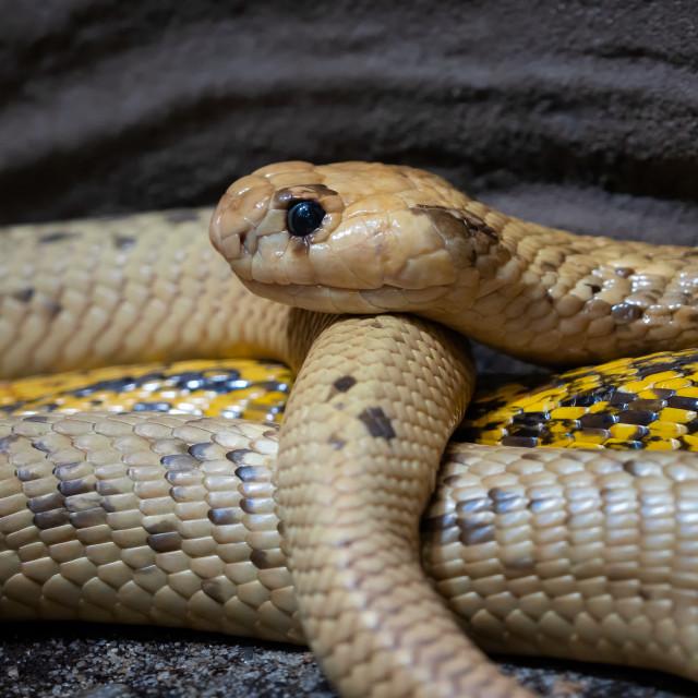 """Cape Cobra (Naja nivea) very dangerous snake"" stock image"