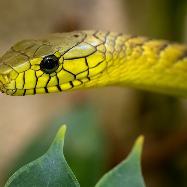 """The green mamba (Dendroaspis viridis), a venomous snake"" stock image"