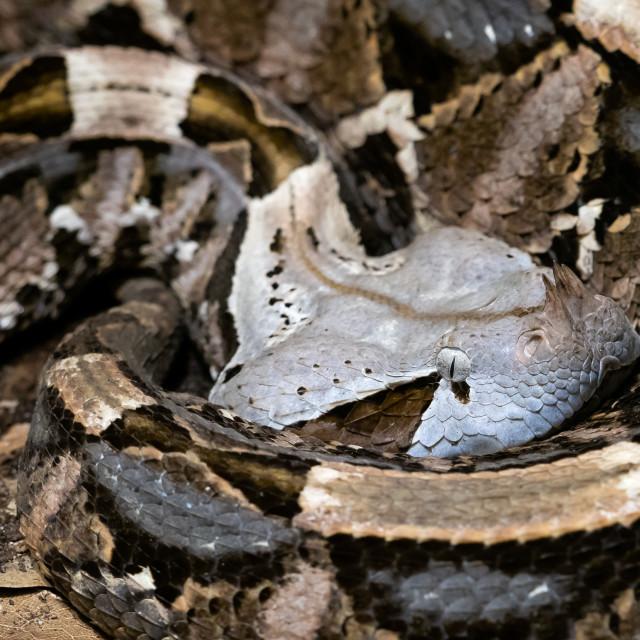"""""""Venomous Bush Viper (Atheris squamigera) on tree"""" stock image"""