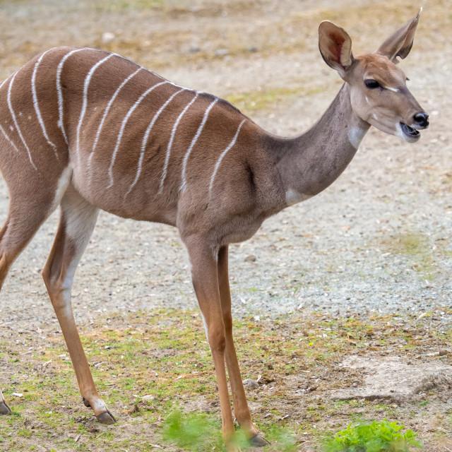 """Lesser Kudu (Tragelaphus Imberbis), small antelope"" stock image"