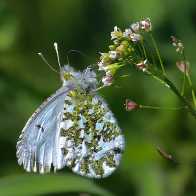 """""""Orange Tip Butterfly"""" stock image"""
