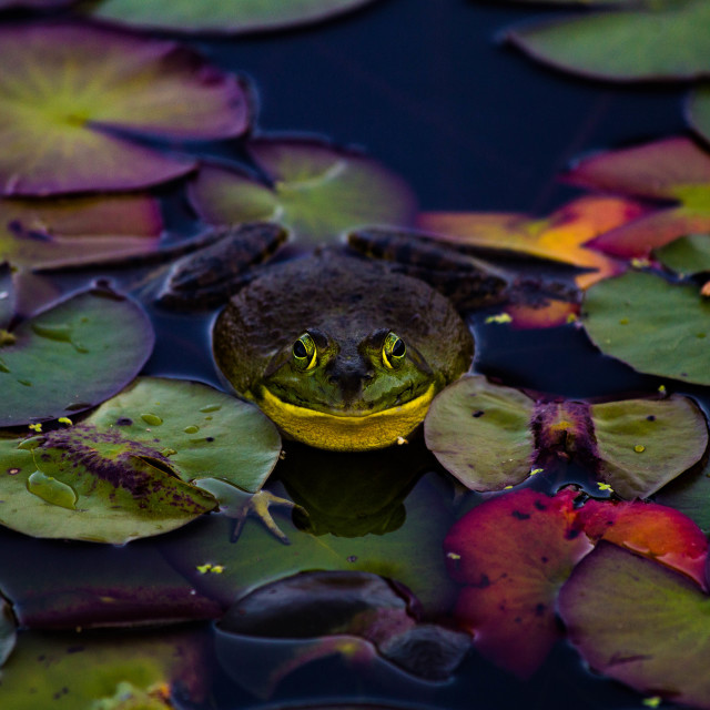 """""""Huge Frog on Lily Pads"""" stock image"""