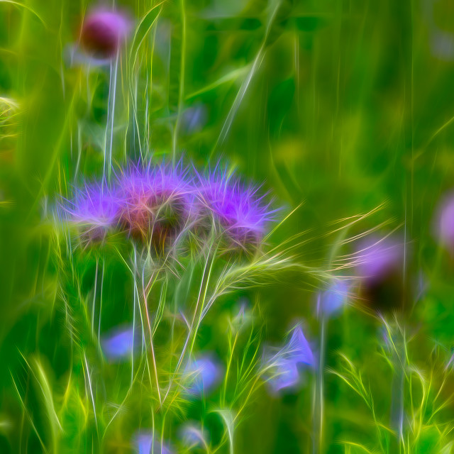 """""""Spear Thistle - Wide"""" stock image"""