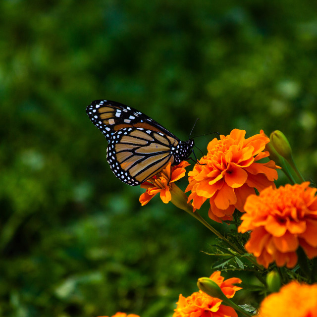 """Monarch Butterfly on an Orange Marigold Flower"" stock image"