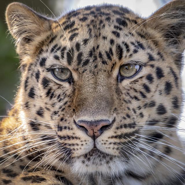"""Female Amur leopard looking towards camera"" stock image"