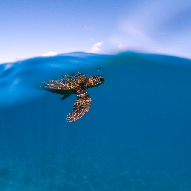 """""""Sea turtle swimming down from surface"""" stock image"""