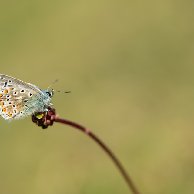 """Adonis blue butterfly"" stock image"