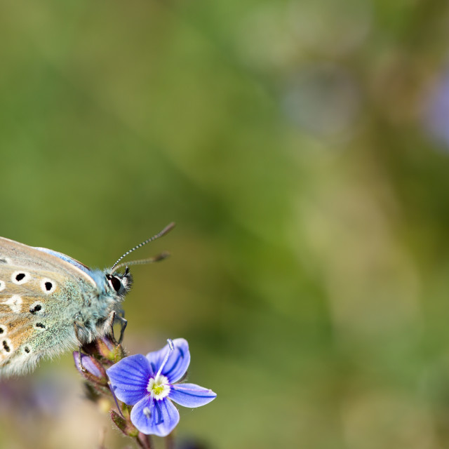 """Adonis blue on flower"" stock image"