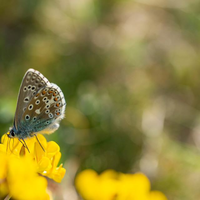 """Adonis blue on yellow vetch"" stock image"