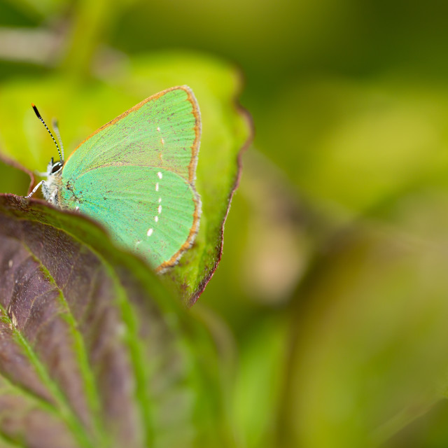 """Green hairstreak butterfly profile"" stock image"