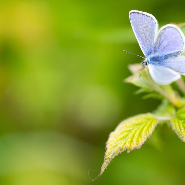 """Common Blue butterfly on green leaf"" stock image"