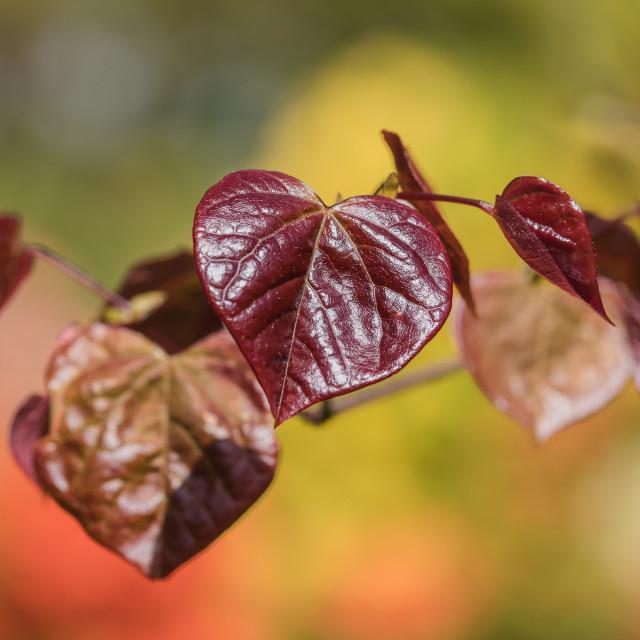 """Cercis canadensis (Redbud)"" stock image"