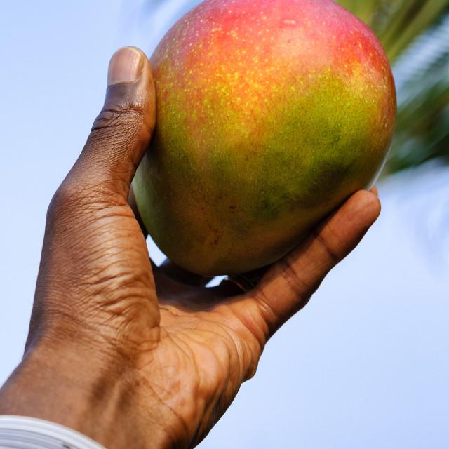 """""""Ripe mango"""" stock image"""