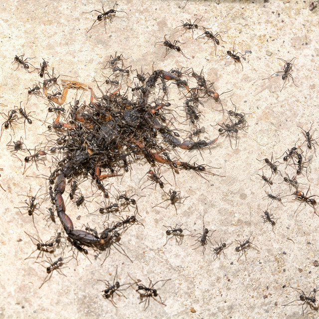"""""""Army ants carry off a scorpion"""" stock image"""