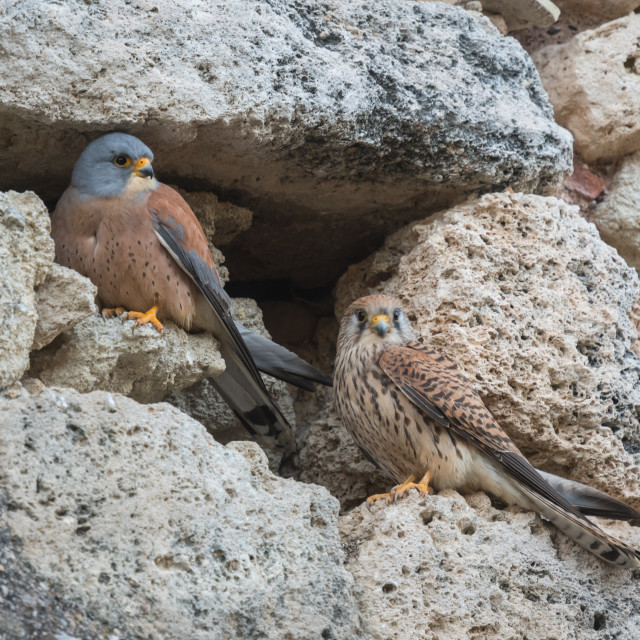 """""""Lesser kestrels set against the stone facade of a village house"""" stock image"""