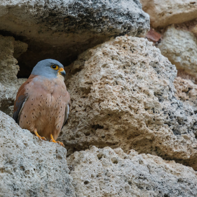 """""""Male lesser kestrel set against the stone facade of a village house"""" stock image"""